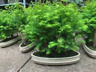 LARGE Bonsai Tree Dawn Redwood Forest Group Of 5 Metasequoia 30cm Pot