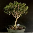 Bonsai Tree Kingsville Boxwood Pre Bonsai 14 Years Old Ready To Pot Up