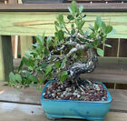 Excellent Shohin Style Buttonwood Bonsai Wired  Styled