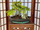 Dwarf Black Olive Bonsai Tree Forest 3+ Years Old Grown From Seeds