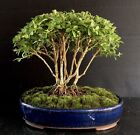 Bonsai Tree Kingsville Boxwood Mini Forest 6 Tall Japanese Glazed Pot