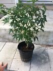 Green Japanese Maple Pre Bonsai 8 Year Old Tree