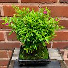 Bonsai Tree Cuphea 15cm Pot Indoor Flowering