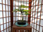 Brazilian Rain Tree Bonsai With Some Nice Movement And A Great 4 Roots Spread