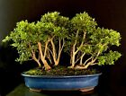 Bonsai Forest Kingsville Boxwood 12 1 4 Tall 10 Trees Japanese Glazed Pot