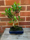 Banyan Fig Ficus Bonsai Tree Indoor In 20cm Pot Large
