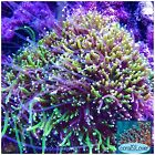 live coral Two Color Galaxea Neon Green And Purple Tentacle coralSLover