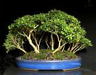 Bonsai Forest Kingsville Boxwood 11 1 2 Tall 15 Trees Japanese Glazed Pot