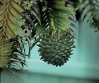 Wollemi Pine Seeds Very Rare Tree This Years Strong Healthy 10 seeds for 2995