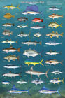 Salt Water Game Fish Poster Print 24x36