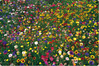 wildflower mix 100 seed wild flower 2000 SEEDS GroCo BUY US USA