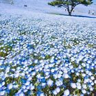BABY BLUE EYES 300+ SEEDS HEAT DROUGHT TOLERANT NATIVE WILDFLOWER FREE SHIPPING