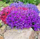 1000 ROCK CRESS HYBRID SEEDS DEER PEST RESISTANT FLOWER Perennial Groundcover US