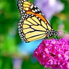 BUTTERFLY MIX WILDFLOWERS Pollinators Hummingbirds Native Bees Colorful Monarchs