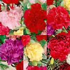 CARNATION DIANTHUS CHABAUD MIX 100 Seeds Cuttings French Bouquets Double Blooms