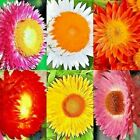 STRAWFLOWER 125 SEED TOM THUMB MIX FLOWER DROUGHT FREE SHIPPING SUMMER NON GMO