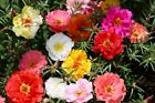 moss rose PORTULACA GroCo double flower mix 550 seeds GroCo BUY US USA