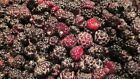 Wild Black Raspberry Canes 4 UNROOTED 6 12 Cuttings Edible Fruit Easy to root