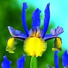 35 Dutch Iris Blue Purple Yellow Color Flower Bulb Perennial Spring Blooming