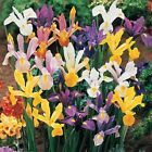30 Dutch Iris Species Mix Color Flower Bulb Perennial Spring Blooming
