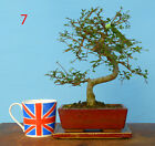 Chinese Elm Bonsai Trees CLEARANCE ITEM SALE