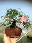 Bonsai Shohin Lovely Nothofagus Beech Artic Flowering Garden RARE