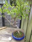 Bonsai Tree Lovely Wisteria Flowering Garden RARE