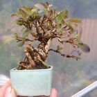 Awesome Bonsai Shohin Weigelia Tree Flowering Garden Tree RARE