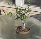 Olive Bonsai Tree 15 diameter of trunk 16 tall Ceramic Pot