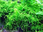 Weeping Moss Pad 5x3 cm Vesicularia Ferriei live Fresh Water Plant 1