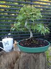 Quality Beautiful Japanese Maple Acer Shohin Bonsai Tree Outdoor Garden