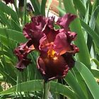One Stunning Red Hawk Bearded Iris Bulb Rhizome Crimson Red Dark Yellow