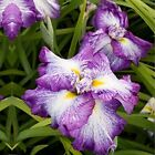 Japanese Iris Picotee Wonder 3 plant Bare Bulb Root Home Garden Flower bonsai