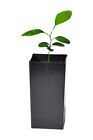 Potted Key Lime Tree Citrus  aurantiifolia 5 to 10+ inches