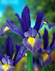 Sapphire Beauty Dutch 5 Iris Bulb Root 6/10cm Multiply Rapidly Plant Seed Flower