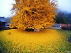 5 Ginkgo biloba Ginkgo tree SALE GET Them Now When They Gone They GONE