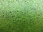 DUCKWEED 600+, BUY 2 GET 1, BUY 4 GET 3 FREE- NO SNAILS - FREE SHIP M-S