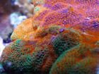 WoW Rainbow Sunburst Montipora Acropora Tankraised Live Coral LPS Fish Aquarium