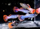 Metallic Pink Glitter Guppy Live Freshwater Aquarium Fish