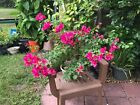 Bougainvillea Pre Bonsai 1 Gnarled Trunk Fuschia Flowers