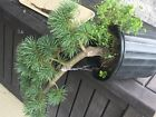 Japanese Five Needle White Pine Blue Lou Pre Bonsai Tree