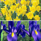 10 Mixed bulb lot- Blue Dutch Iris and Yellow Daffodils-*Ready for fall planting