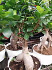 Ficus Tree Bonsai Shape Gensing Grafted Ficus Live Potted plant Free ship