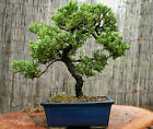 LIVE GREEN MOUND JUNIPER BONSAI 20 25 YR 11 HEIGHT LLT 014