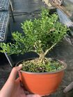 Harland Boxwood Pre Bonsai Tree