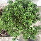 HTF Dwarf Mops Mugo Pine Evergreen Pre Bonsai Tree True Dwarf BIG Thick Trunk