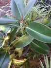 1 Rubber tree plant 2 1 4 foot Plus tall Shipped Bare Root Moist Wrapped