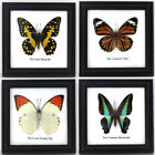 4 New Real Butterfly Insect Taxidermy Display Wood Glass Framed Wall Art Decor