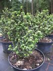Ilex crenata Green Dragon Bonsai Ilex Green Dragon