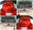(40) ITALIAN TREE TOMATO - 'Trip L Crop' Tomato Seeds - Combined S